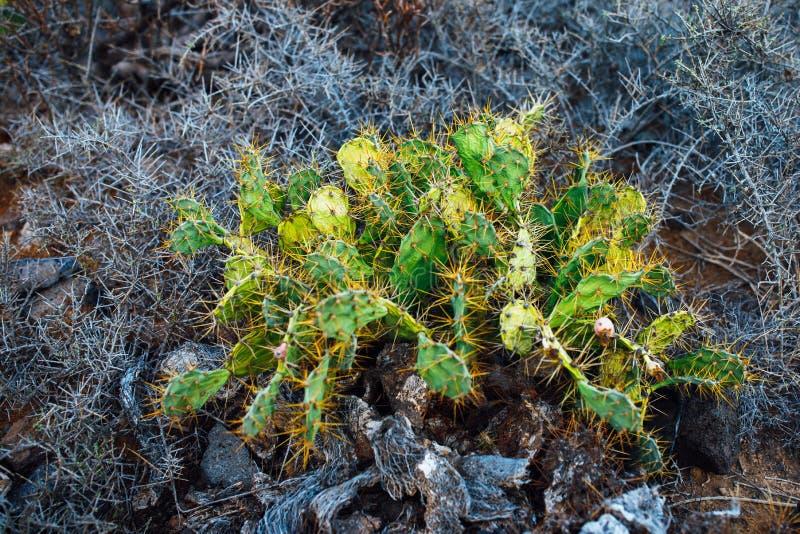 Opuntia sec de cactus sur le fond de brindilles d'épine images libres de droits