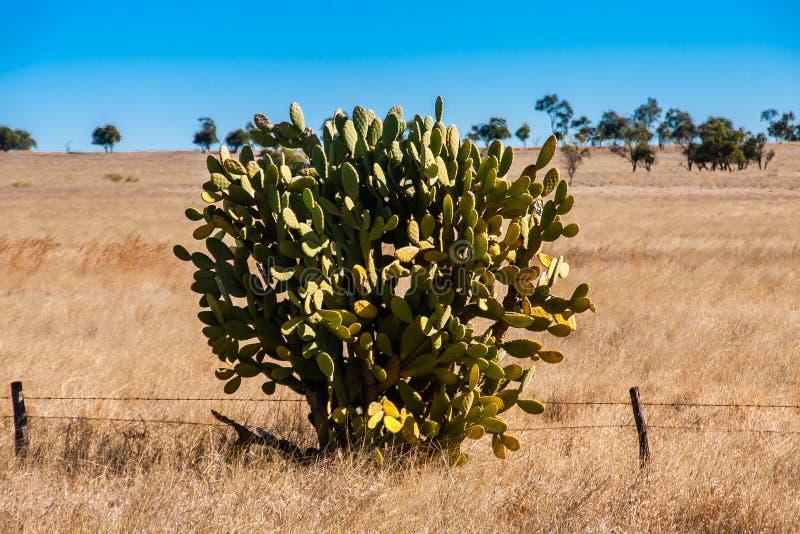 Opuntia SP τραχιών αχλαδιών δέντρο στον αυστραλιανό εσωτερικό στοκ φωτογραφίες