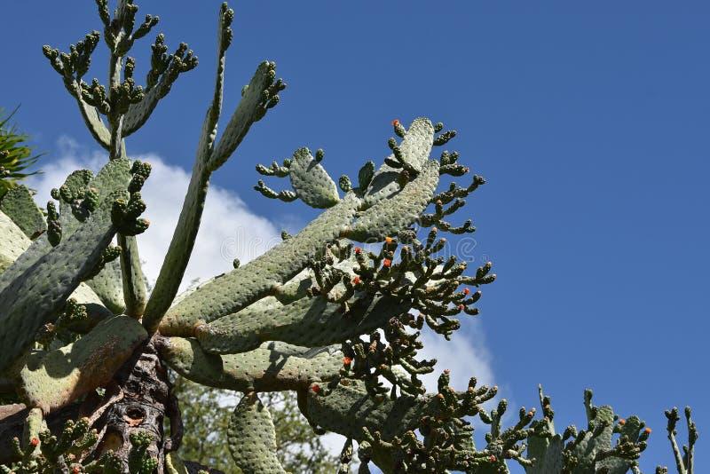 Download Opuntiacochenilliferakaktus Arkivfoto - Bild av växt, inget: 106829170