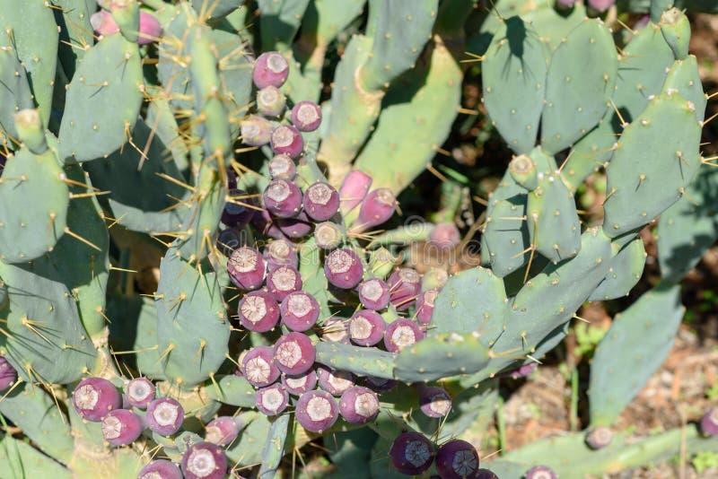 Opuntie Kaktusfeige-Kaktus mit Frucht lizenzfreie stockbilder
