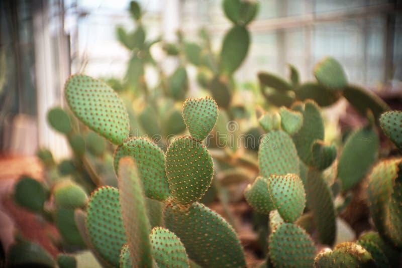 Opuntie microdasys var rufida, Kaktus im Garten, Kakteen, Succulent, Baum, tolerante Anlage der Dürre lizenzfreie stockbilder