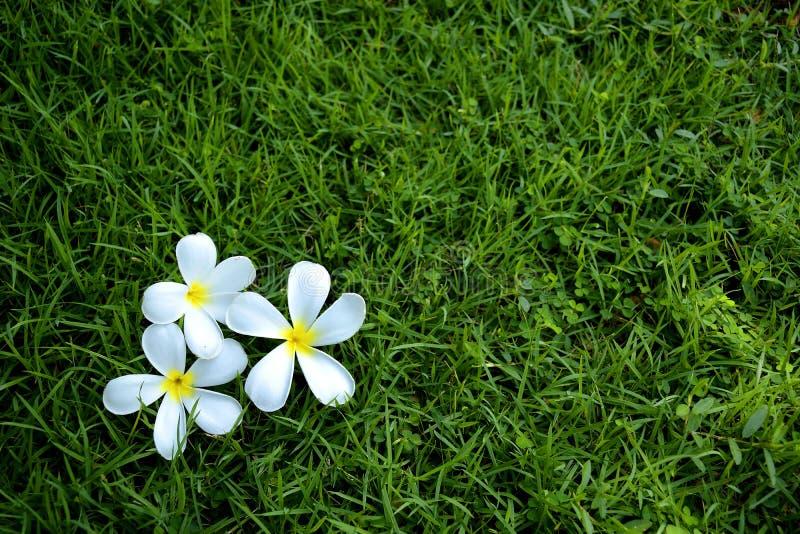 Opuszczający Biali kwiaty obraz royalty free