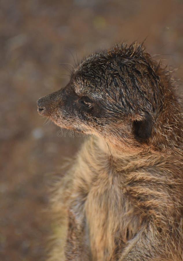 Opvallend Profiel van een Meerkat omhoog dicht royalty-vrije stock fotografie
