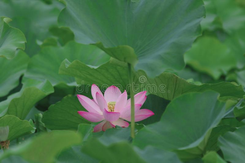 Opvallende lotusbloem stock afbeelding