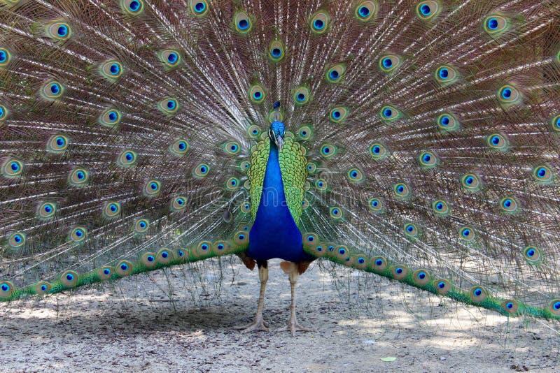 Opzichtige Kleurrijke Pauw stock foto
