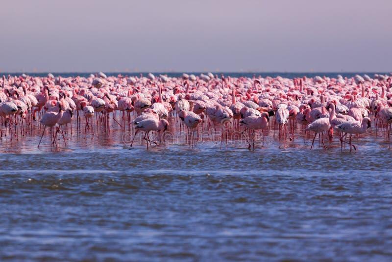 Opzichtigheid van Flamingo's die op de kust van Swakopmund Namibia leven royalty-vrije stock afbeelding