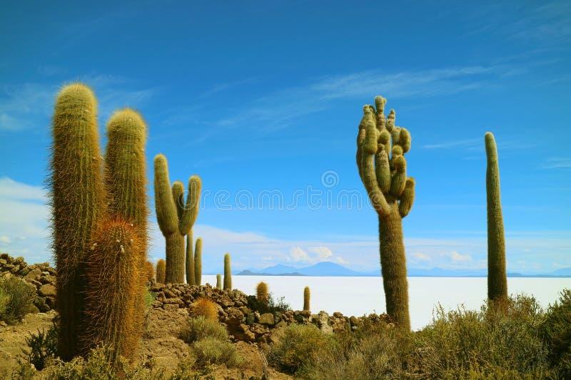 Oräknebara jätte- kaktusväxter på Isla Incahuasi mot det vidsträckt saltar lägenheter av Salar de Uyuni, Bolivia, Sydamerika royaltyfria foton
