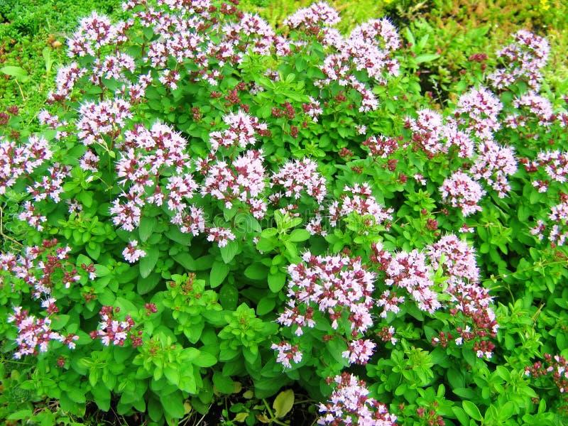 Orégano floreciente Flores del vulgare del Origanum foto de archivo