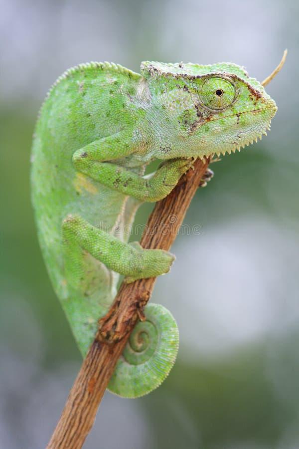 Orörlig grön kameleont royaltyfri foto