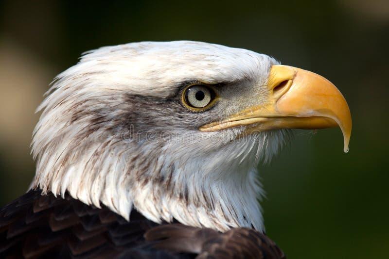 orła łysy kanadyjski profil fotografia stock