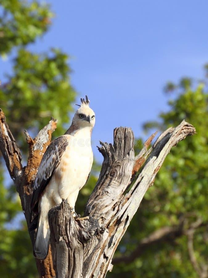 orła jastrząb fotografia stock