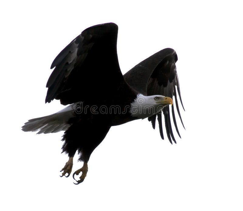 orła lecącego łysego royalty ilustracja