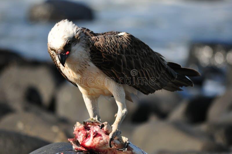 orła morze zdjęcie royalty free