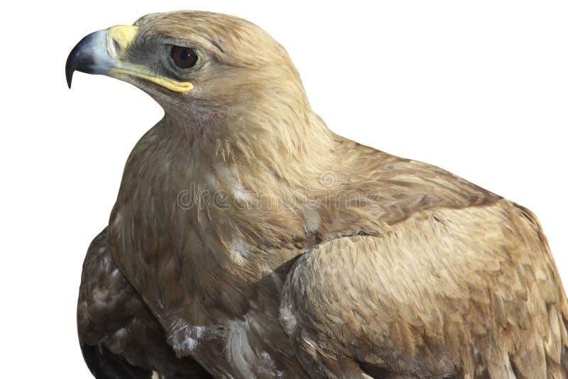 orła odosobniony złoty zdjęcie royalty free