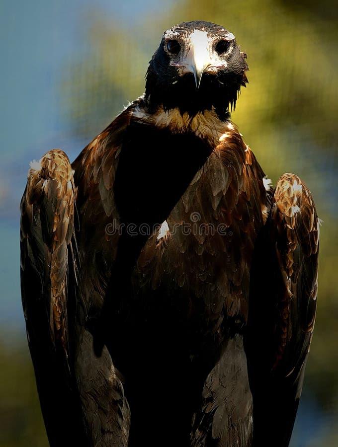 orła ogonu klin zdjęcie royalty free