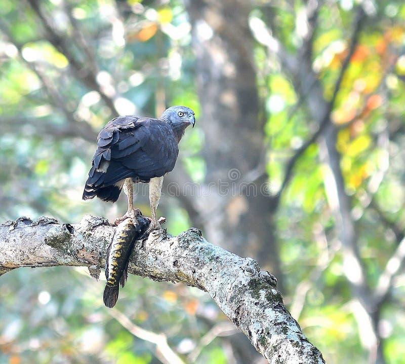 orła ryba grey przewodzący fotografia stock