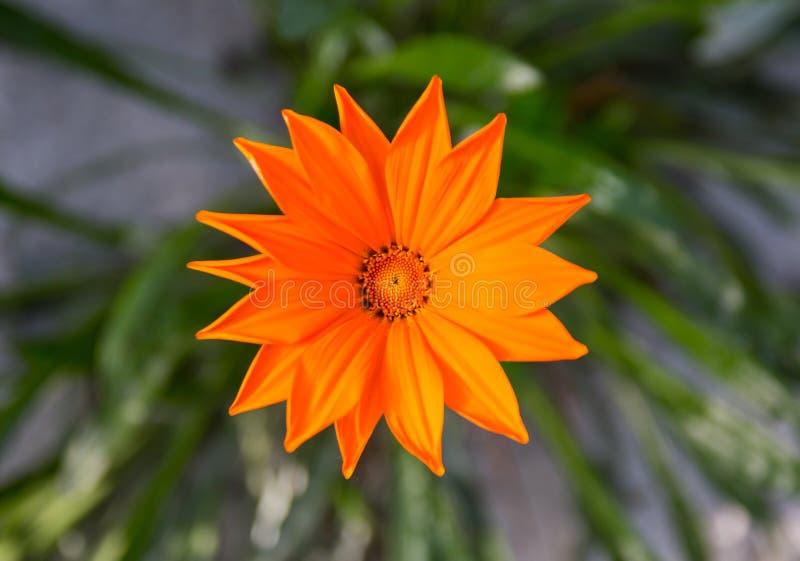 Oraange gazania. Beautiful oraange color gazania blooming royalty free stock images