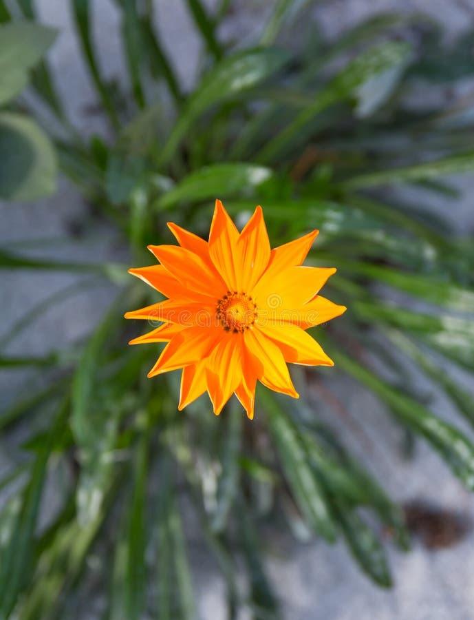Oraange gazania. Beautiful oraange color gazania blooming stock photography