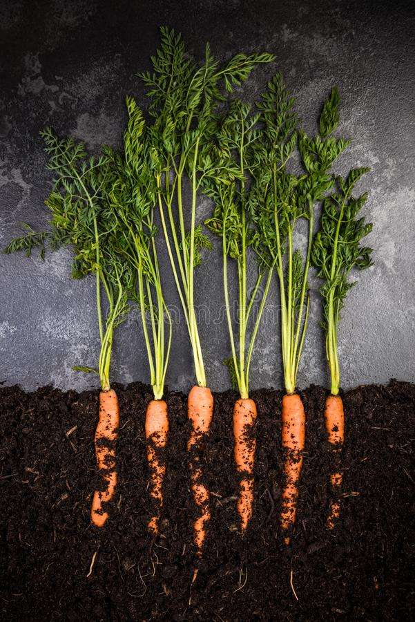 Oragnic Carrots Growing in Soil, Creative Conceptual Image royalty free stock image