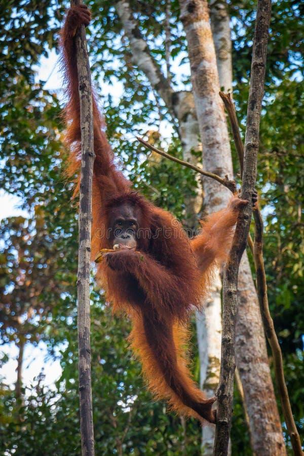Oragutan ест бананы в дереве в Борнео стоковые фотографии rf