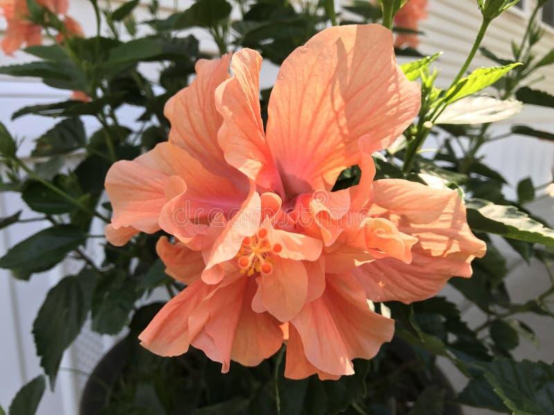 Oranamental pomarańcze obraz royalty free