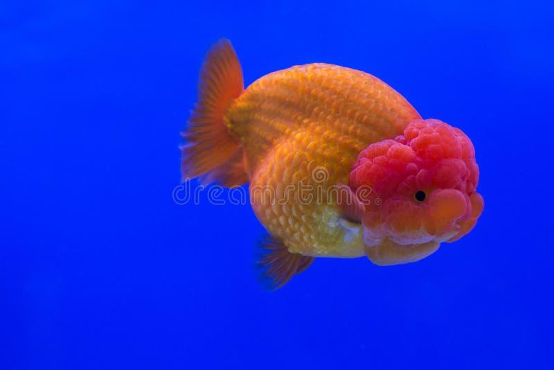 Oranda del pesce rosso fotografia stock immagine di fine for Carpa pesce rosso