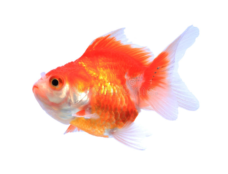 Oranda goldfish isolated on white, high quality studio shot manualy removed from background so the finnage is complete royalty free stock images
