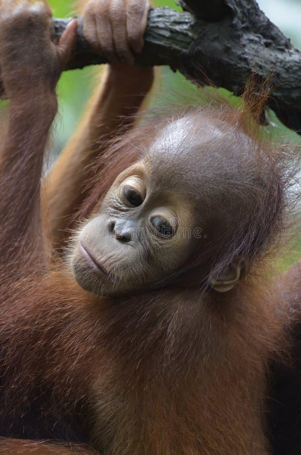 orang младенца utan стоковое изображение