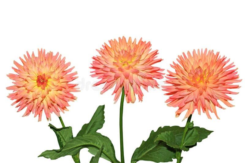 Orang Dahlie-Blumen lizenzfreie stockfotos