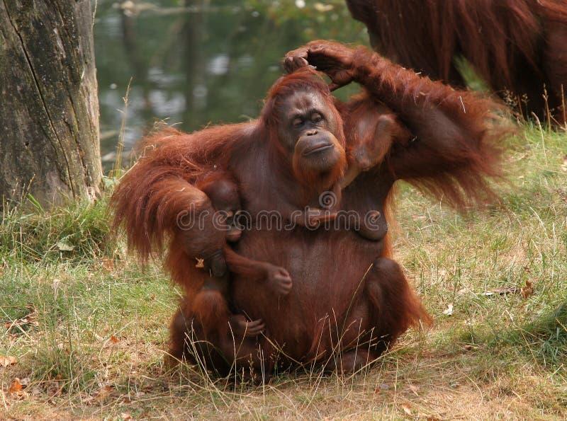 Orang de mère utan avec deux chéris images stock