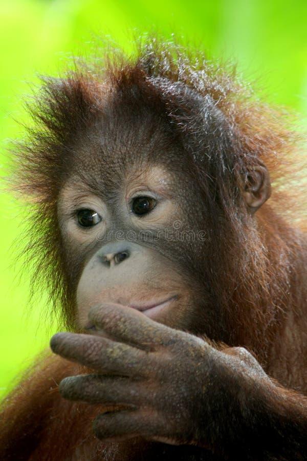 Orang del bambino utan immagini stock