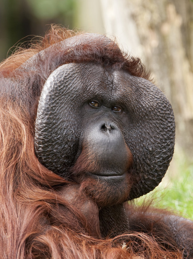 Orang masculino utan imagen de archivo libre de regalías