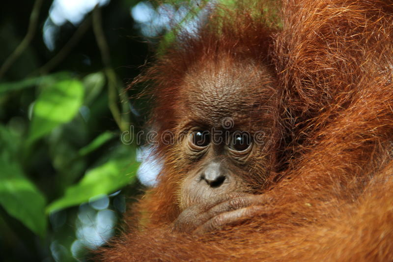 Orang oetan baby. Looking in camera in the jungle of sumatra royalty free stock image