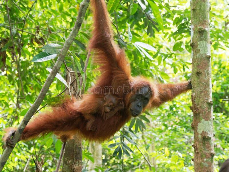 Orang-oetan utan met weinig baby royalty-vrije stock afbeelding