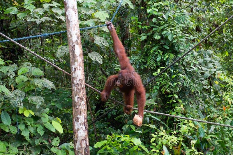 Orang-oetan utan op boom bij het eiland van Borneo stock fotografie
