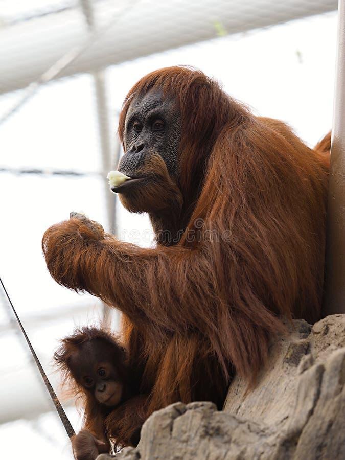 Orang-outan à Chester photos libres de droits