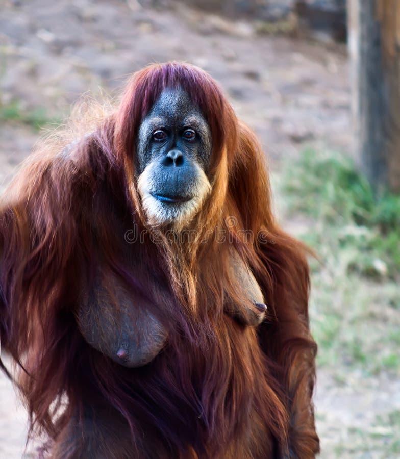 Orang-outan. photos libres de droits