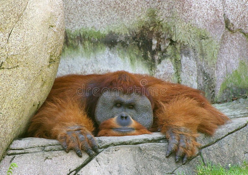 Orang-outan photos stock