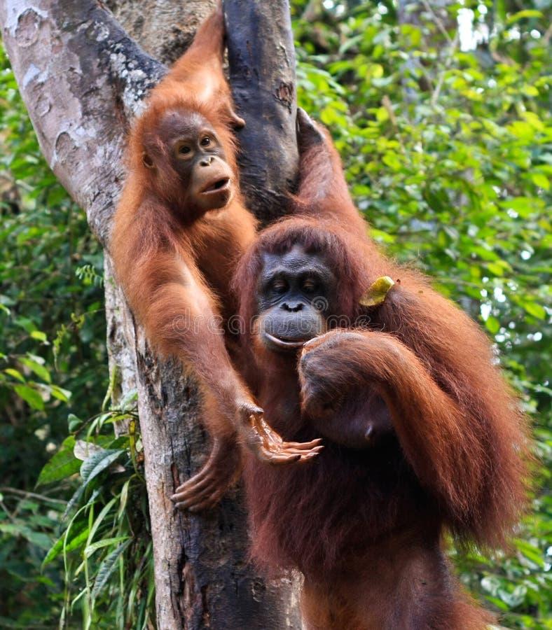 Orang-outan, image stock