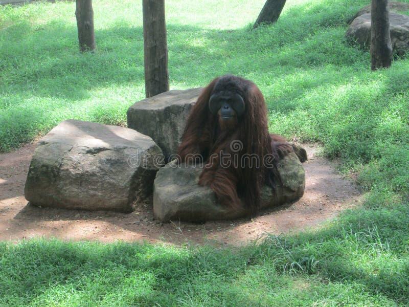 Orang-outan photos libres de droits