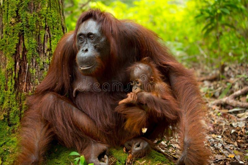 Orang-outan au Bornéo Indonésie photos libres de droits