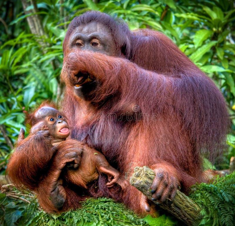 Orang-outan avec le juvénile photo libre de droits