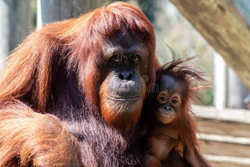 orang-outan bornean de mère de chéri images stock