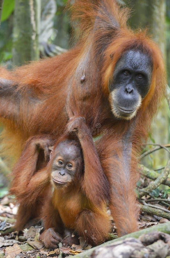 Orang-outan, Bukit Lawang, Sumatra, Indonésie images libres de droits