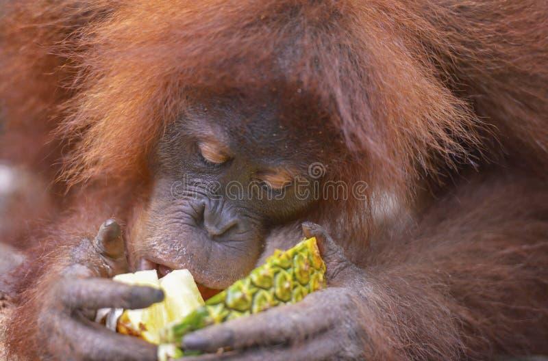Orang-outan, Bukit Lawang, Sumatra, Indonésie photos stock