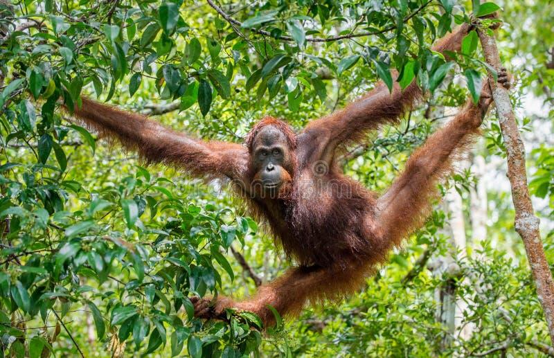 Orang-outan central de Bornean et x28 ; Wurmbii de pygmaeus de Pongo et x29 ; dans l'habitat naturel photos stock