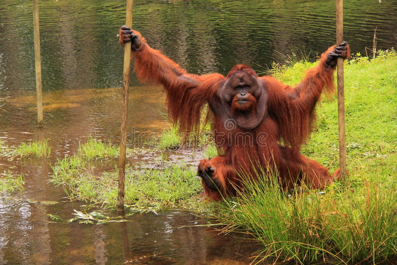 Orang outan crossing water pool royalty free stock photo