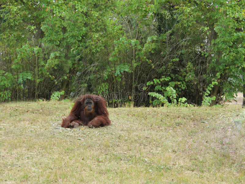 Orang-outan d'animal de nature photographie stock