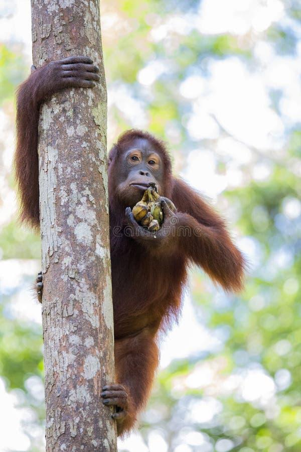 Orang-outan dans la forêt de Kalimantan image stock