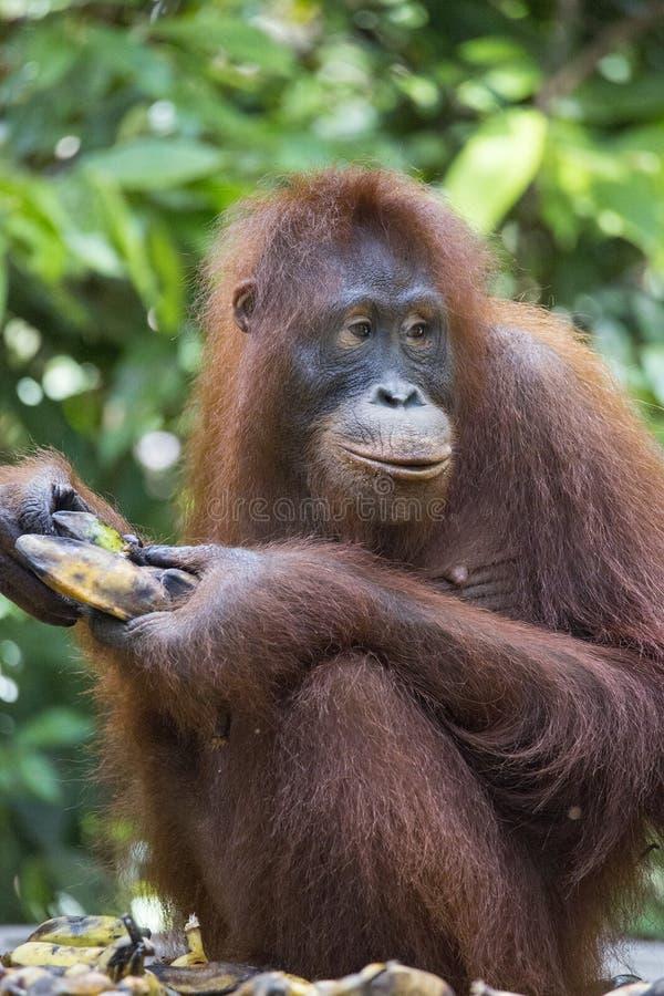 Orang-outan dans la forêt de Kalimantan photographie stock libre de droits